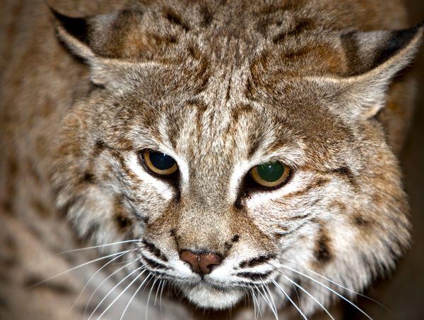 Bobcat pet - photo#10