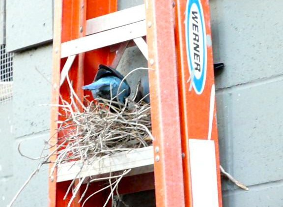 Birds nesting earlier to try to survive global warming