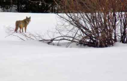 Prizes for coyote hunting banned by Calif. panel