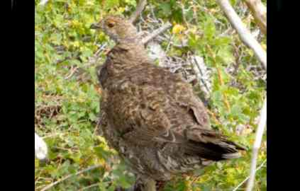 No federal protection for Sierra sage grouse