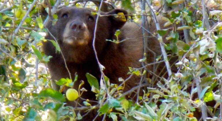 NDOW kills nuisance black bear in Incline