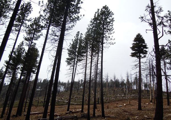 GOP seeks to speed up tree removal