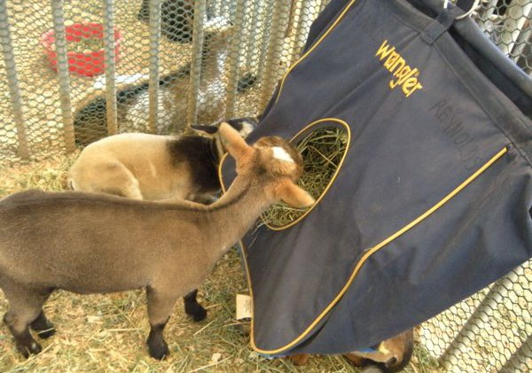 Goats to feed on discarded Christmas trees