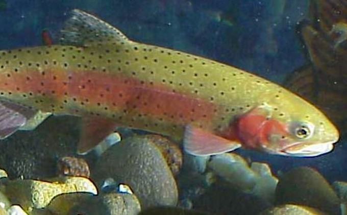 Agencies stocking cutthroat trout in Sierra lakes