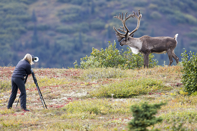 Carolyn E. Wright photographs elk in Denali National Park. Photo Copyright 2016 Carolyn E. Wright