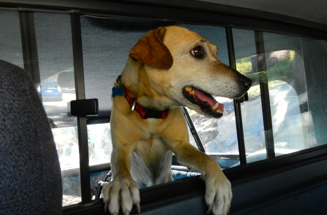 Calif. law would allow people to smash car windows to rescue pets