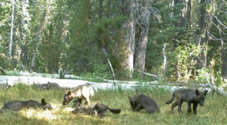 First wolf sighting in Nevada in 95 years