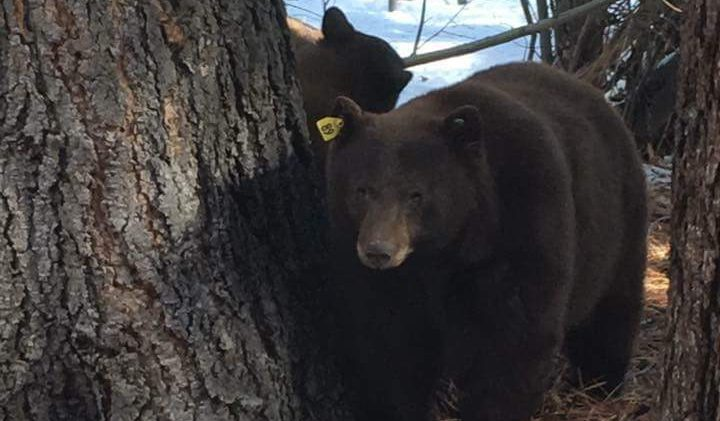 Nev.'s delicate relationship with wild bears
