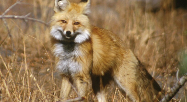 Rare foxes spotted in Ore. may help Calif. population