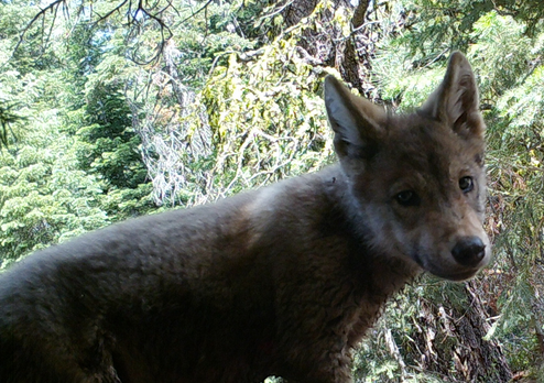 New wolf pup spotted in Lassen pack