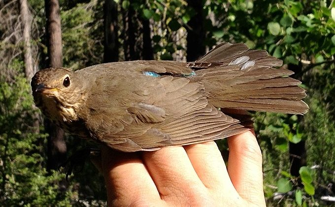 Tahoe scientists studying secret travels of thrush