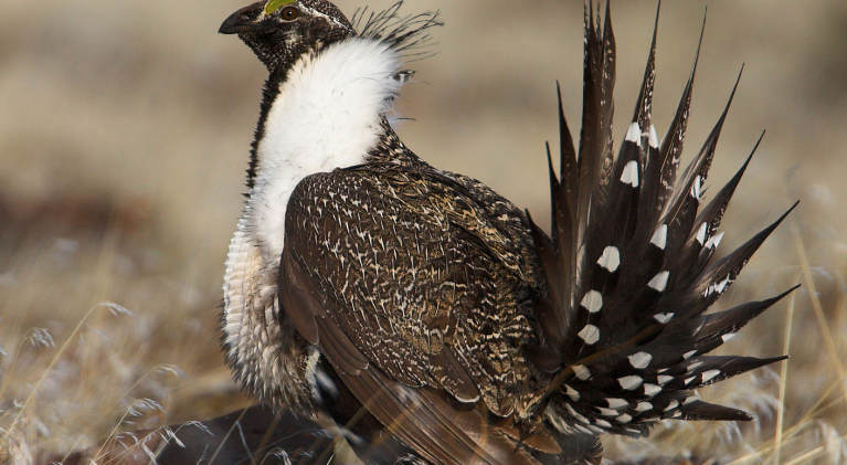 Sage grouse policy heading back to square one