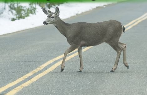 Wildlife-vehicle collisions more likely in fall