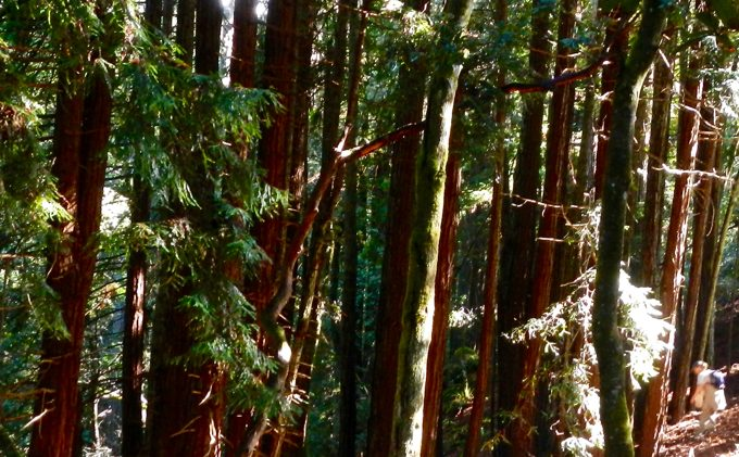 Redwood grove no longer so elusive, trees suffering