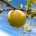 Opinion: Retaliatory tariffs take bite out of U.S. apple industry