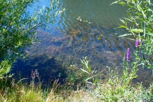 Milfoil is is choking the canals of the Tahoe Keys. Photo/LTN file