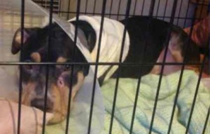 Tonka is racking up vet bills after being shot by a narcotics officer in South Lake Tahoe. Photo/Provided