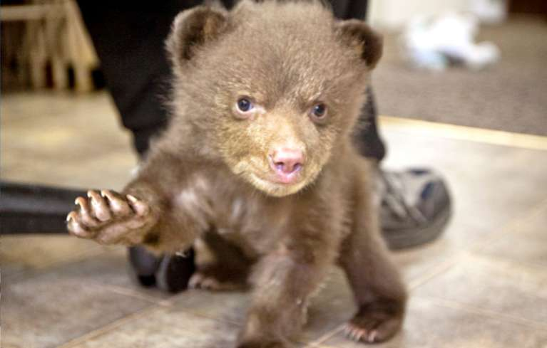 Lake Tahoe Wildlife Care got custody of this bear cub on April 15. Photos/DanThriftPhotography.com