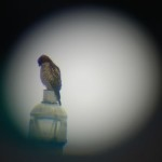 A red-shouldered hawk as  seen through a scope.