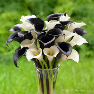 Calla lilies, like Night Cap with its black flowers and the white blooms of Crystal Clear, are spring planted bulbs that thrive in full sun or part shade and can be cut to create an elegant display indoors. Photo/Longfield Gardens