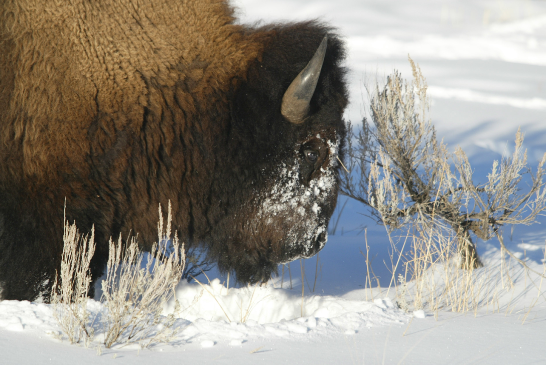 Sometimes it's better to find Plan B when a bison is on  trail. Photo/National Park Service