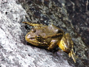 Scientists are trying to save the mountain yellow-tree frog. Photo/USFWS/Rick Kuyper