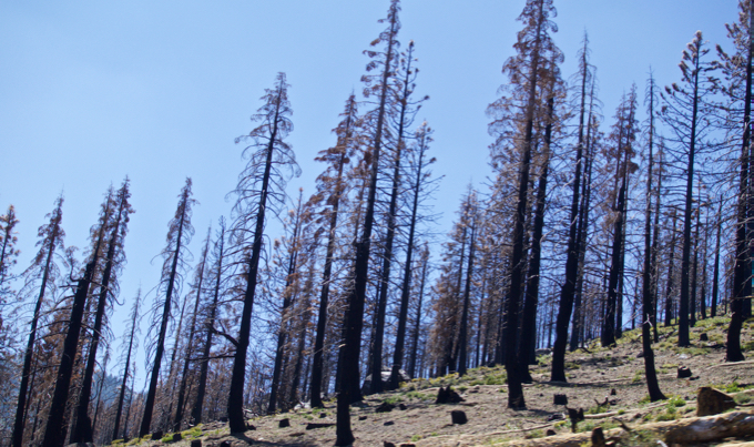 Treating Tahoe's West Shore trees