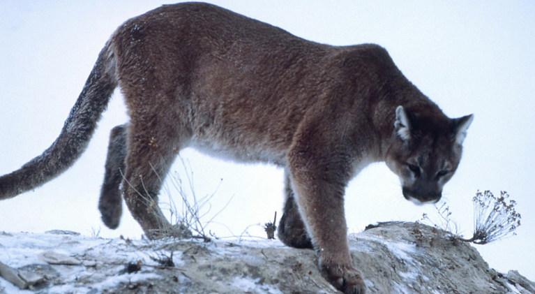 Talk on South Shore to focus on cougars